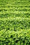 Crops Stock Photos