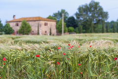 Crops and Poppies on Tuscan countryside Stock Photo