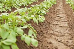 Crops - potatoes growing in rows Royalty Free Stock Image