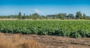 Crops and Rainier Royalty Free Stock Photo