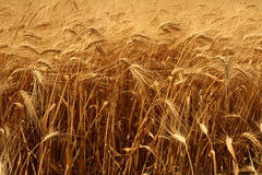 Crops ready for harvest. Corn blowing in the wind stock photos