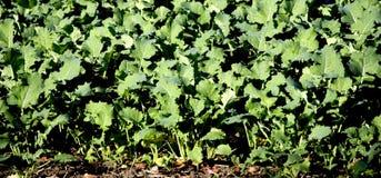 crops rows στοκ φωτογραφίες
