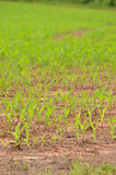 Crops in rows Stock Photo