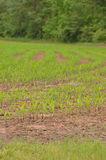 Crops in rows Royalty Free Stock Photo