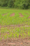 Crops in rows Stock Photography