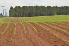 Crops in rows Royalty Free Stock Photos