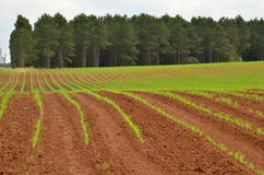 Crops in rows Royalty Free Stock Photography
