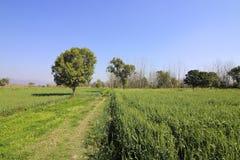Crops in rural punjab Stock Photos