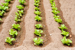 Crops of salad in the garden Royalty Free Stock Image