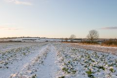 Crops in the snow. winter season growth Stock Photography