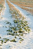 Crops in the snow. winter season growth Stock Photo