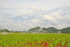 Crops and spiggle water. Rows of Growing Agricultural Crops and spiggle water royalty free stock images