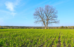 Crops in spring. Moscow region of Russia Royalty Free Stock Images