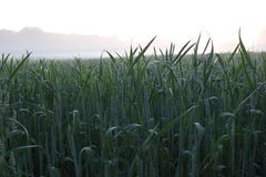 Crops on sunset Royalty Free Stock Images
