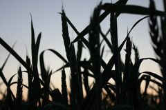 Crops on sunset Royalty Free Stock Photo