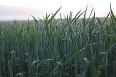 Crops on sunset Royalty Free Stock Photos