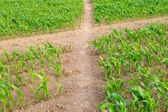 Crops on a Sussex Farm. Pathways between rows of young crops growing on a Sussex farm Royalty Free Stock Photos