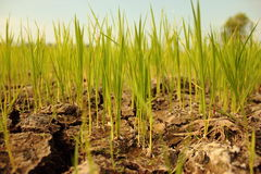 Crops try to grow on dry ground Stock Photo