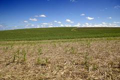 Crops wide angled view Stock Photos