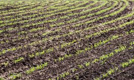 Crops of young corn plants. On the farm field. Selective focus Stock Image