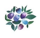 Croquis bleu pourpre de main d'aquarelle de belles prunes lumineuses Photographie stock libre de droits