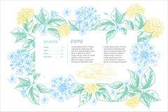 Croquis botanique réaliste d'encre de couleur de la racine, des fleurs et des baies de ginseng d'isolement sur le blanc collectio Illustration de Vecteur