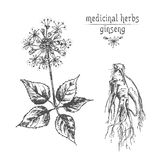 Croquis botanique réaliste d'encre de la racine, des fleurs et des baies de ginseng d'isolement sur le blanc collection florale d illustration libre de droits