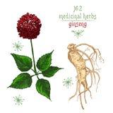 Croquis botanique réaliste de couleur de la racine, des fleurs et des baies de ginseng d'isolement sur le blanc collection floral illustration stock