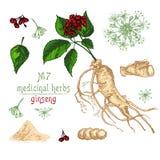 Croquis botanique réaliste de couleur de la racine, des fleurs et des baies de ginseng d'isolement sur le blanc collection floral illustration libre de droits