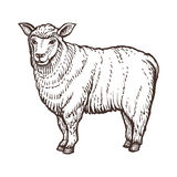 Croquis d'animal de ferme de moutons, mammifère d'isolement de moutons sur le fond blanc Type de cru illustration libre de droits