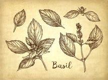 Croquis d'encre de Basil Photo libre de droits