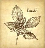 Croquis d'encre de Basil Photographie stock