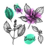 Croquis d'encre de Basil Photographie stock libre de droits