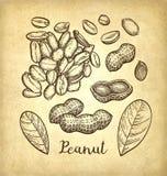 Croquis d'encre des arachides Image stock
