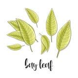 Croquis d'objet d'isolement par feuilles de baie Épice pour la nourriture Assaisonnement culinaire Photos stock