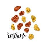 Croquis d'objet d'isolement par raisins secs Épice pour la nourriture Assaisonnement culinaire Images libres de droits