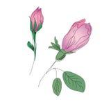 Croquis de boutons de rose Images stock