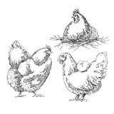 Croquis de Chiken Illustration de Vecteur