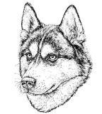 Croquis de Husky Dog Photos libres de droits