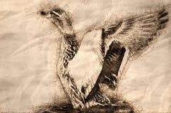 Croquis de Mallard Duck Stretching Its Wings While se reposant sur l'eau image libre de droits