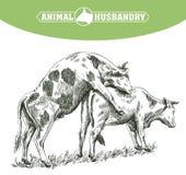 Croquis de vache dessiné à la main bétail bétail zoogamy Photos libres de droits