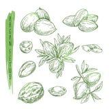 Croquis des éléments d'arbre d'argan Dirigez les silhouettes des branches avec des écrous, des feuilles et des graines Photographie stock libre de droits