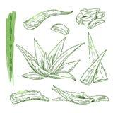 Croquis des éléments de Vera d'aloès Silhouettes de vecteur d'usine botanique Photos stock