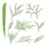 Croquis des feuilles de thé Vecteur réglé avec des silhouettes des branches d'herbe Photographie stock libre de droits