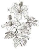 Croquis des fleurs de ketmie Photographie stock libre de droits