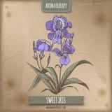 Croquis doux de couleur d'iris sur le fond de vintage Série d'Aromatherapy Images libres de droits