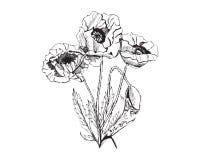 Croquis graphique tiré par la main des fleurs de pavot de bouquet d'isolement sur le fond blanc Composition décorative Photos libres de droits