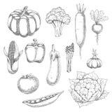 Croquis organique de légumes pour la conception d'agriculture Photos stock