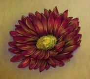 Croquis rouge de crayon de marguerite Images stock