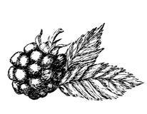 Croquis tiré par la main de Blackberry Photos libres de droits